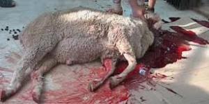 lamb sacrifice